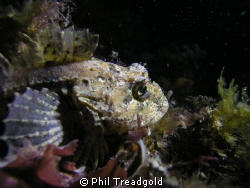 sea scorpian i believe, night dive at selsey by Phil Treadgold 